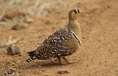 Double-banded Sand Grouse