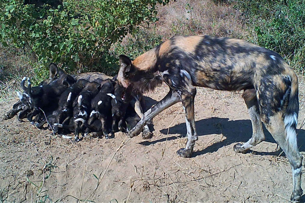 Wild dog pack with pups suckling