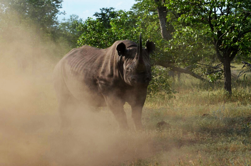 Black rhino - Malilangwe. Photo credit - Mark Saunders