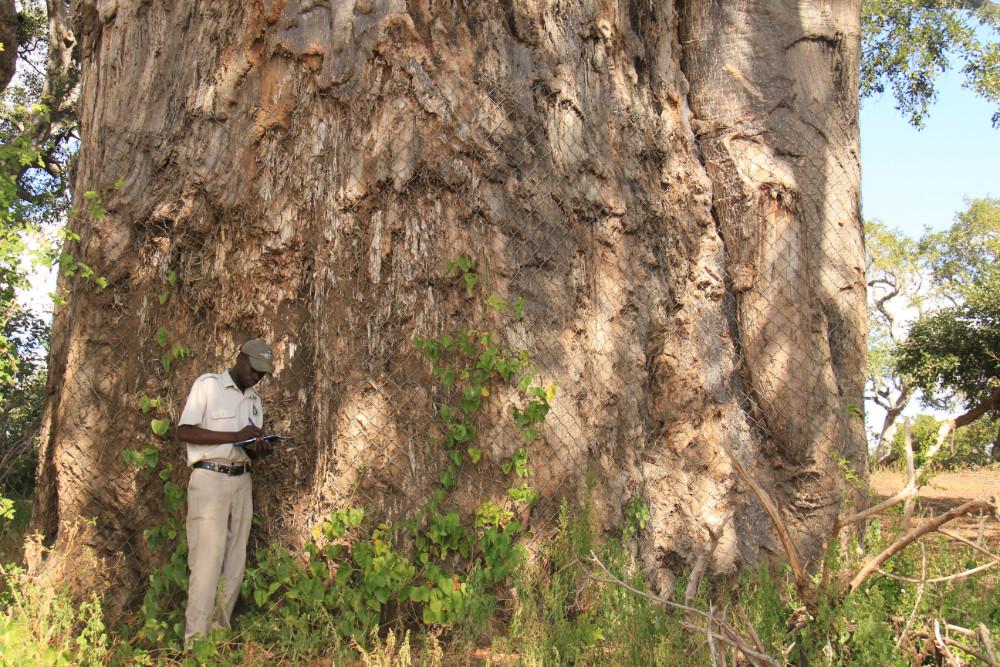 Enoch recording baobab information